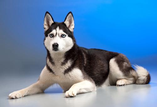 Kutyák 07 15x10 cm - Kutyák - Állatok - Ruhára vasalható matrica ... d22bc1c131